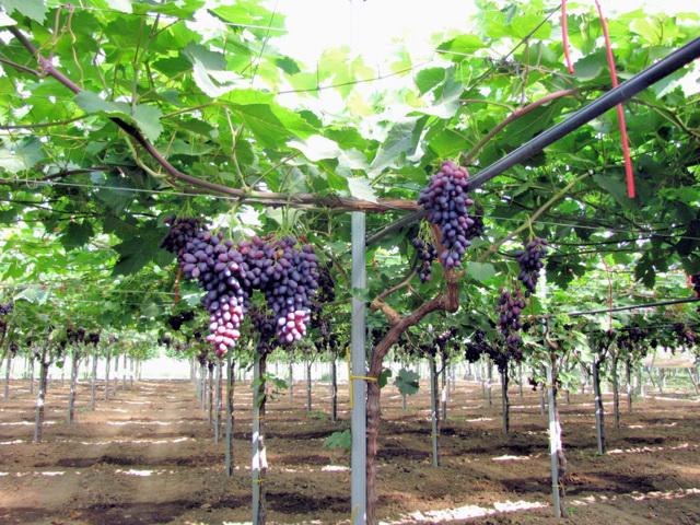 Puglia uve da tavola precoci nella campagna 2010 - Uva da tavola puglia ...