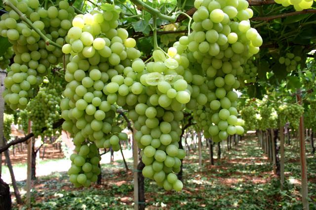 Puglia uve da tavola precoci nella campagna 2010 2 - Uva da tavola puglia ...